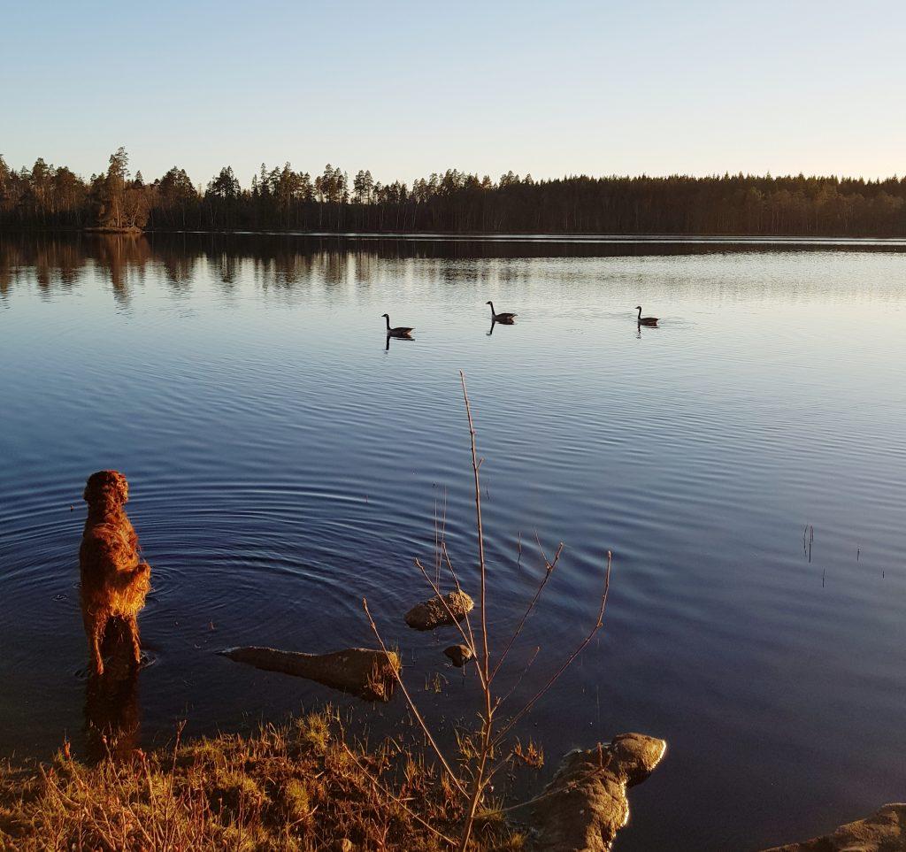 Kanadagässen har återvänt till Holmsjön april 2019.