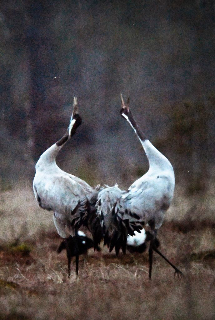 Vindkraft, trandans foto från Stora mossen, Natura 2000-område vid område Högsjön. Foto: Gunnar Ljunggren, Naturfotograf